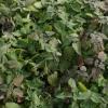 Catnip_plants